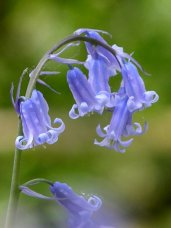 Bluebell - Wikimedia Creative Commons licensed Jim Champion